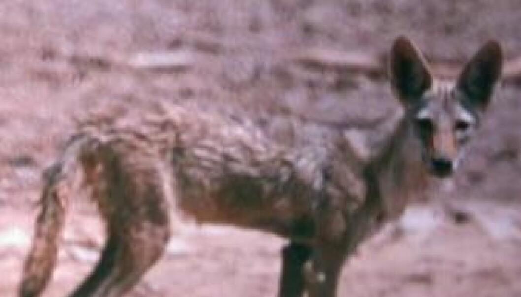 Dette er ingen sjakal, men en ulv. (Foto: J. K. Tiwari)