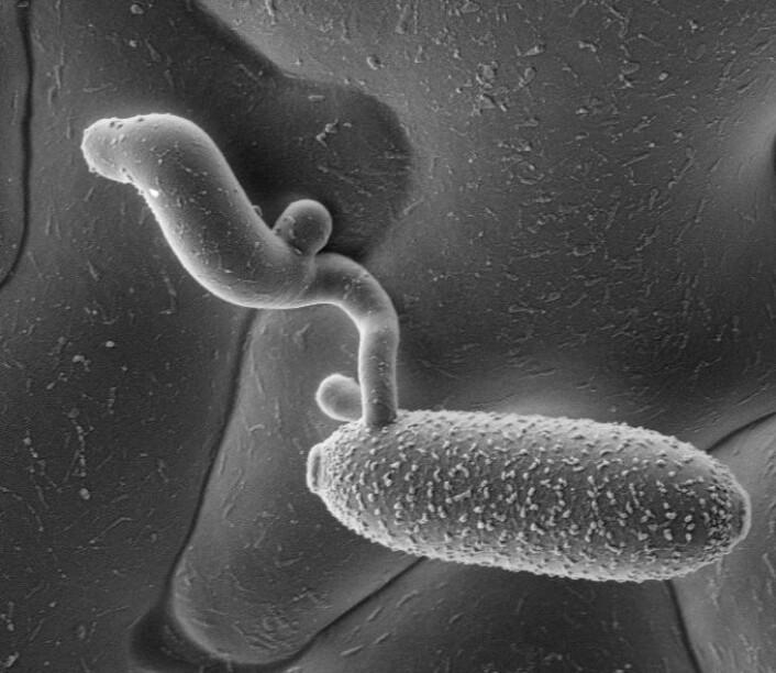 Melduggsoppens raffinerte angrepsstrategi: Når en vindbåren melduggsoppspore (torpedoformet med ruglete overflate) lander på en plante, produserer den en struktur som den bruker til å bore hull i plantens overflate (epidermis). Slik kan den suge energi ut av plantecellene. Forskerne håper å kunne utvikle metoder til å sabotere strategien. (Foto: Science/AAAS)