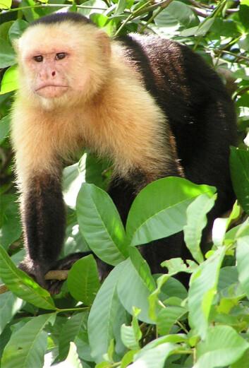 Capuchinapene vasker seg med urin for å vise seksuell og sosial status, viser ny forskning. (Foto: David M. Jensen)