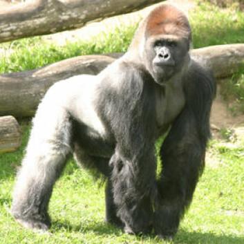 Gorillaen Samson liker å leke med seg selv. Men hvis han hadde levd i naturen, hadde han i stedet hoppet på en hunn.(Foto: Givskud Zoo / Wikimedia Commons, se lisens her)