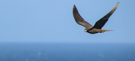 Hvordan klarer fuglene å fly milevis over havet uten å hvile?