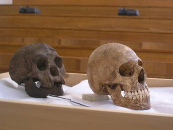 """""""Avstøpning av skallen til Homo floresiensis (t.v.) sammen med moderne menneske med mikrocephali, hjerne med dvergvekst. Brukt for å understøtte teorien om at Flores-mennesket hadde sykelig dvergvekst. (Foto: Avandergeer, Creative Commons)"""""""