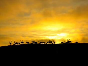 For pattedyr ellers er det slik at det er lyset som styrer døgnrytmen. Men det er ikke tilfellet for reinsdyr. Foto: Sami Kienänen/flickr.com