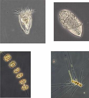 Mikroskopisk liv finnes i mange former og størrelser. Noen er alger, mens andre er konsumenter som spiser alger eller hverandre. Artssammensetning og antall av mikroorganismer i is og overflatevann er avgjørende for mengden mat som til slutt vil synke ned i dypet. Bildene er fra dette toktet. Øverst fra venstre:ciliate og dinoflagellate fureflagellat gyrodinium. Nederst fra venstre: Diatom kiselalge Thalassiosira og Diatom kiselalge Chaetoceros.