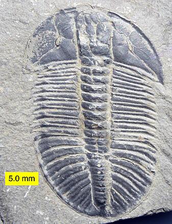 En trilobitt fra kambrium.