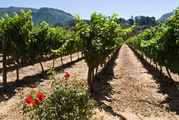 Noen steder i Afrika produseres det blant annet vin, mens planter som teff og vernonia eksporteres fra Etiopia. Vernonia er en spiselig bladplante, mens teff er en plante som minner om havre eller bygg. (Foto: Colourbox)