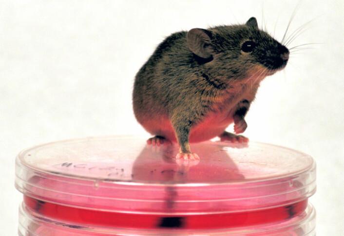 Fibonacci er en av musene som er lagd av ei hudcelle, og som viste seg å selv være fruktbar. Her sitter han på noen av skålene som ble brukt da de amerikanske forskerne forvandlet hudceller til induserte pluripotente stamceller. (Foto: Sergey Kuprianov and Kristopher L. Nazor.)