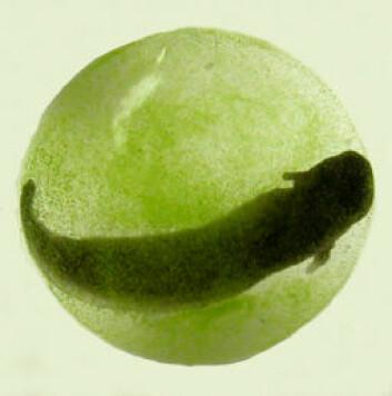 """""""En nærmere kikk viser tydelig algene inne i salamanderembryoet. (Foto: Renn Tumlison)"""""""