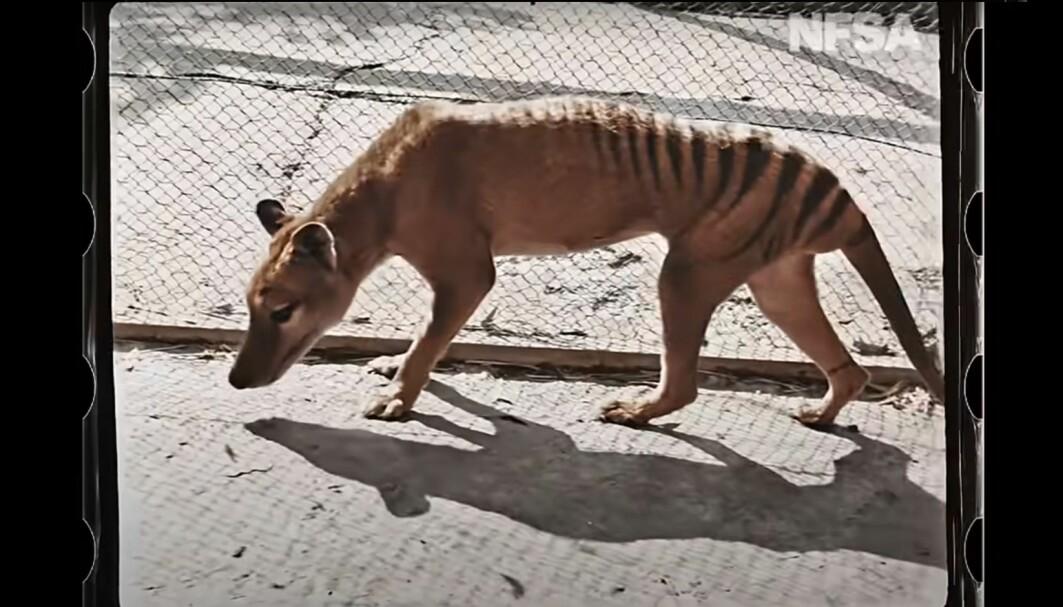 Pungulven kunne minne om en tiger, en hund eller hyene, men var ikke i slekt med disse dyrene.