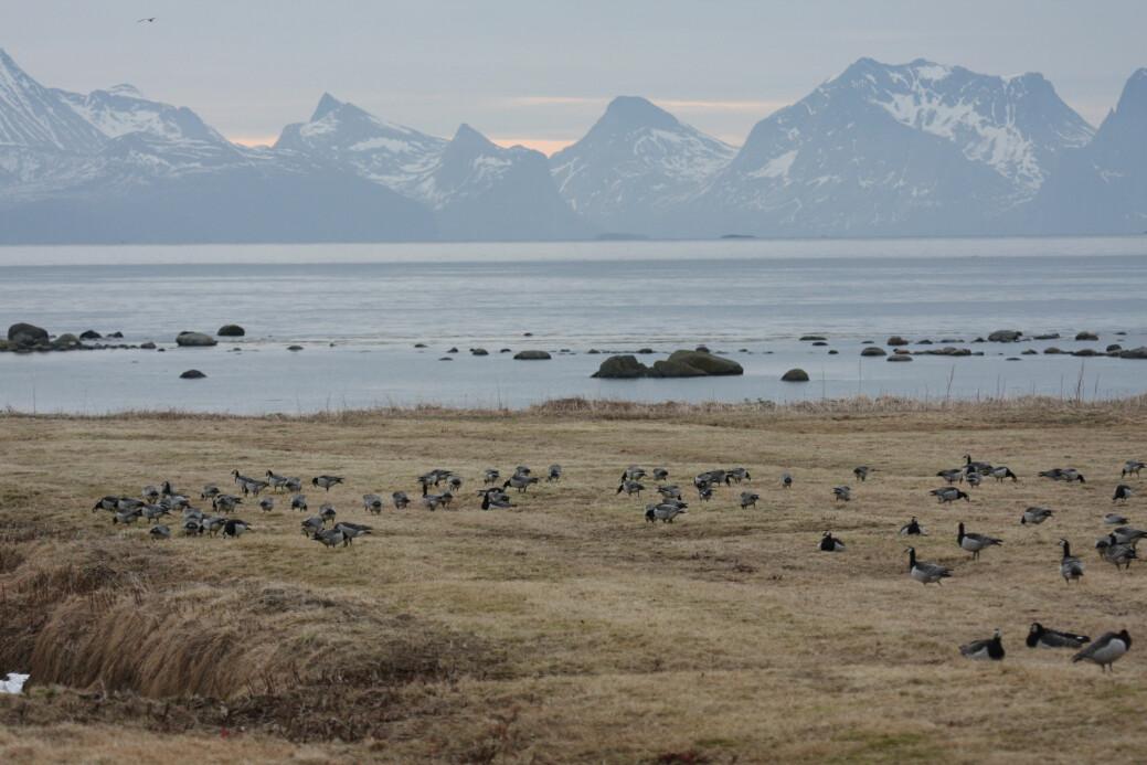 Hvitkinngjess som raster på vei til hekkeområdene på Svalbard