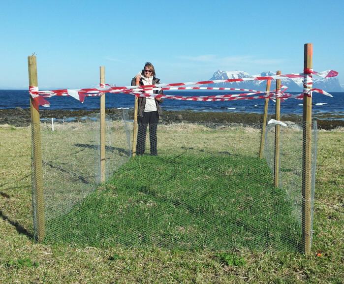 Forsøksfelt i Vesterålen som ekskluderer gåsebeiting.