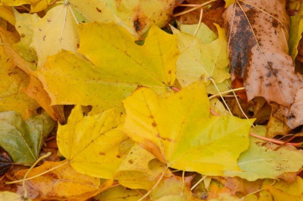 Om høsten transporteres verdifulle næringsstoffer ut av bladene for lagring i stamme og røtter for bruk neste vår.