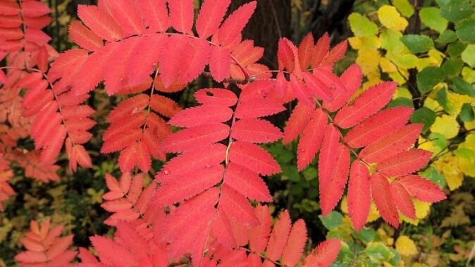 Rødfargen på rognebladene forårsakes av fargestoffet antocyanin.