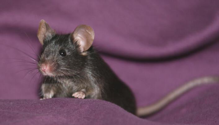 Tiny, eller en av de andre musene som det kinesiske forskerteamet lagde av hudceller. (Foto: Dr. Qi Zhou)