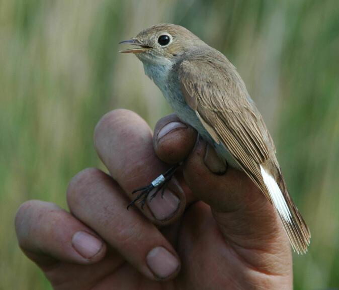 Mye av den kunnskapen vi har om trekkfugler kommer fra ringmerking. Dette er en dvergfluesnapper.
