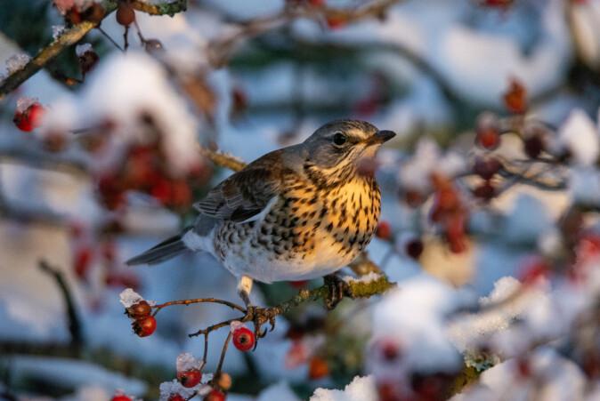 De fuglene som blir i Norge gjennom vinteren kalles standfugler. De lever gjerne av frø og bær, som denne gråtrosten.