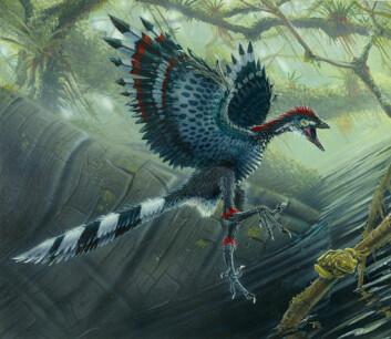 Slik tror forskere at urfuglen Archaeopteryx lithographica så ut. Urfuglen har hjulpet forskere med å forklare den evolusjonære overgangen fra dinosaurer til fugler. (Illustrasjon: Todd Marshall)