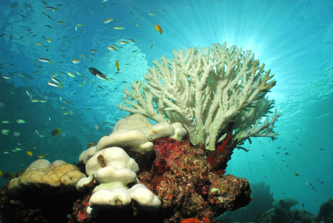 The increase in CO2 in the ocean affects the acidity of the water, making it harder for corals to build their skeletons. Higher water temperatures from global warming also cause coral bleaching, which is when corals expel the symbiotic algae living in their tissues, causing them to turn completely white and die.