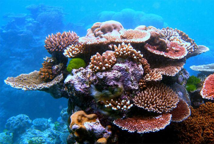 Ein ny rapport konkluderer med at alle korallrev i verda vil vere trua innan 2050. (Foto: Toby Hudson)