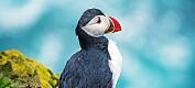 Slik vil forskerne ta bedre vare på lundefuglen