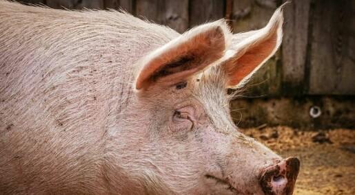 Forskarar testar medisin for menneske på griseøyre