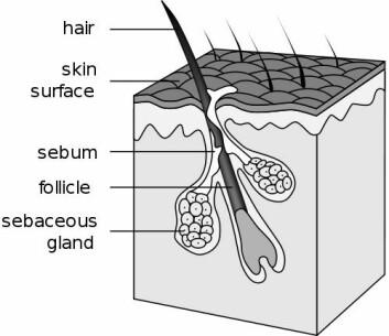 Skjematisk tegning av hårstrå og hårsekk. (Foto: Wikipedia)