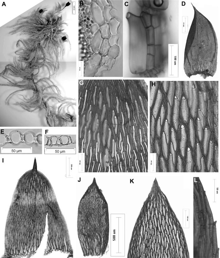 """""""Dette er torvmosen som har fått navnet Flatbergium sericeum. (Illustrasjon: American Journal of Botany)"""""""