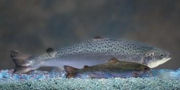 Bildet viser størrelseforskjellen mellom en genmanipulert laks og et like gammelt søsken som ikke er genmanipulert (foran). (Foto: AquaBounty Technologies)