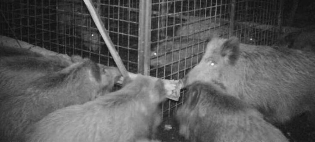 Villsvin  i  utrolig  redningsaksjon  viser  kompleks  form  for  empati,  mener  forskere