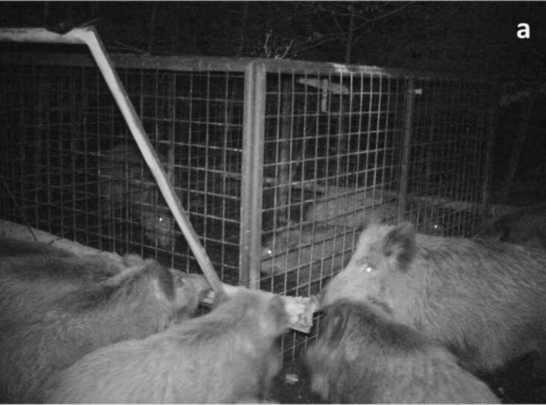 Åtte villsvin sto bak en redningsaksjon av to unge villsvin som hadde forvillet seg inn i en felle. Etter en halv time var aksjonen vellykket.