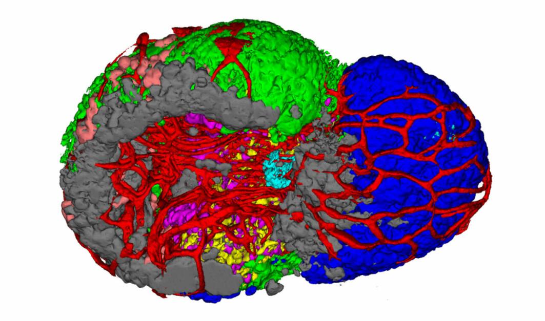 Hypofyse fra hann-fisk som viser blodårene og alle de syv endokrine celletypene.