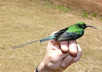 Hvorfor har noen fugler lange og upraktiske fjær?