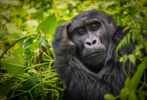 Gorilla-mødre kan bære lenge på en død unge. Er det fordi hun sørger?