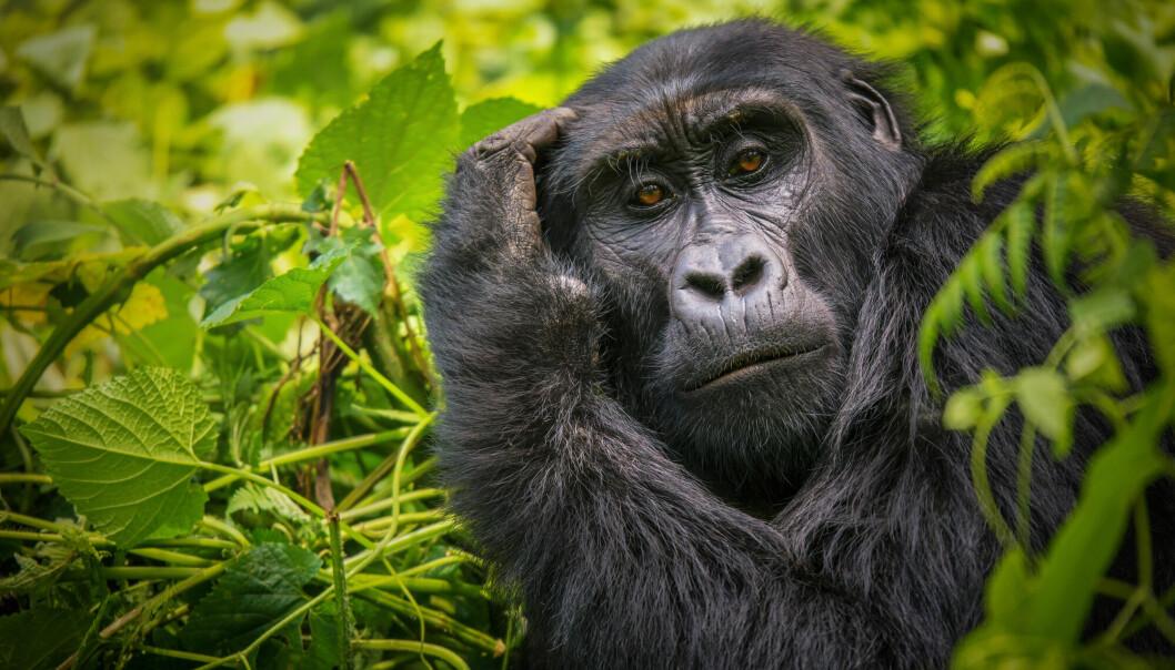 Forskere tror gorillaer lærer mer om døden når de får erfaring med den.