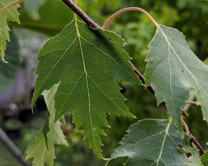 'Fortuna'-bjørka har dekorative, djupt flika blad. Dei minner om blada til 'Ornäs'-bjørka som er mykje brukt i grøntanlegg. Foto: Inger Auestad