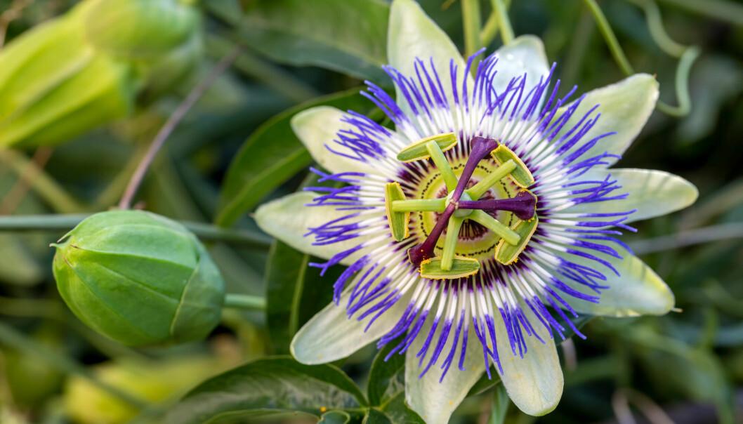 Blomsterplantene, slik som denne pasjonsblomsten, er kompliserte vekster. De oppsto for rundt 135 millioner år siden. Før dem kan det ha vært en lang periode hvor det ikke skjedde så mye med floraen.