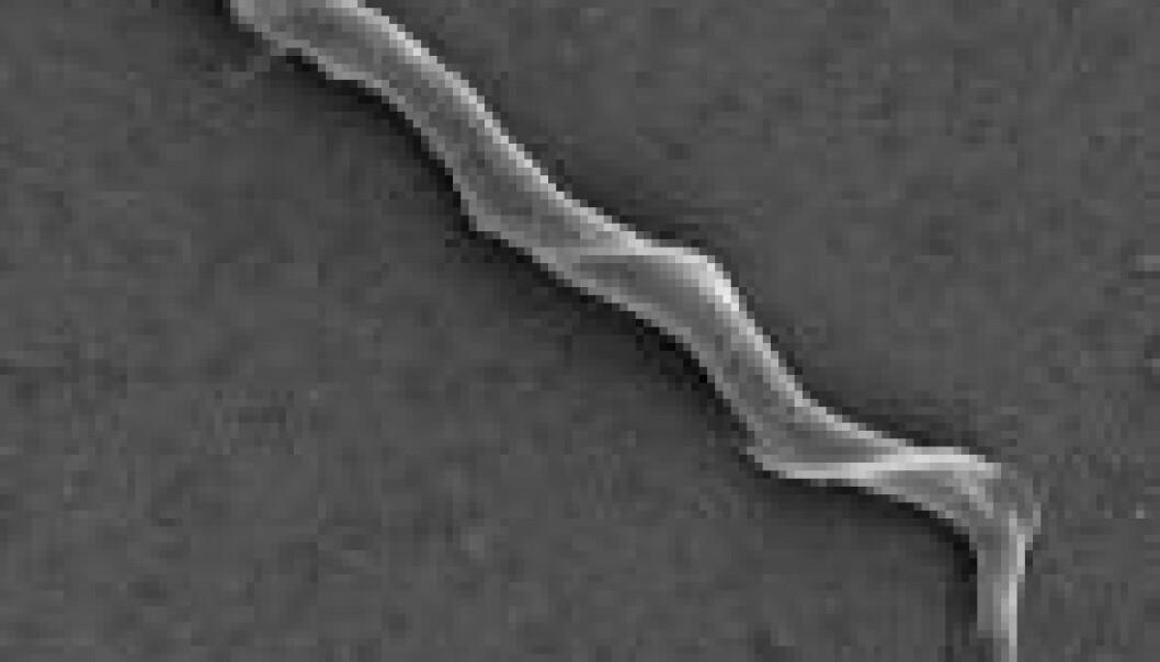 Sperm frå lauvsongar. (Foto: Oddmind Kleven, NHM/UiO)
