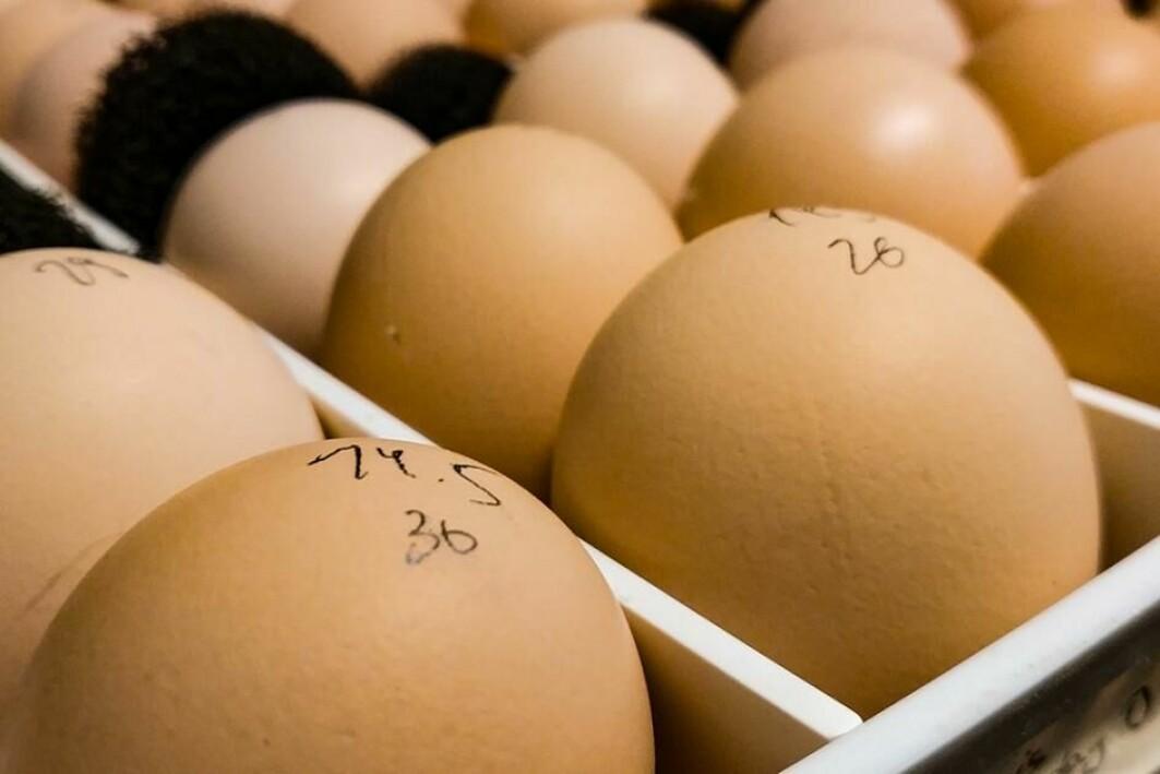 Befrukta hønseegg i brett for rugemaskin. Egga er merka med masse og eit tilfeldig gjeve løpenummer.