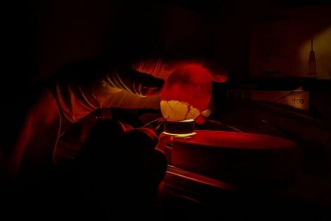 Egget blir gjennomlyst for å sjekka at det er levedyktig og for å finna ein bra stad å injisera stoffa som skal testast.