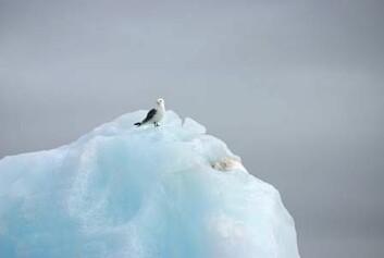 Krykkje på isfjell i Kongsfjorden. (Foto: Ann Kristin Balto, Norsk Polarinstitutt)