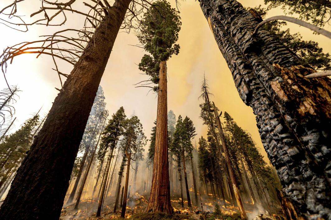 Skogbrannene har satt sine spor i Sequoia National Forest i California.