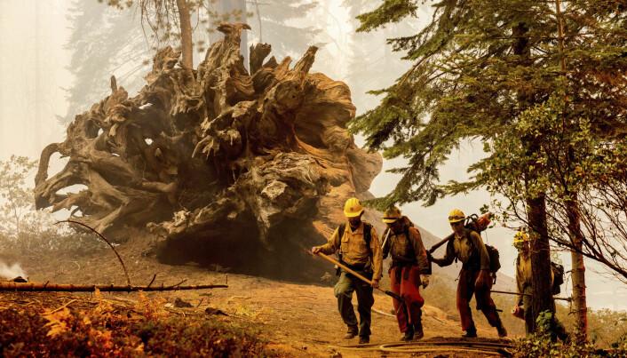 Brannbetjenter ved et veltet kjempetre i Sequoia-skogen søndag.