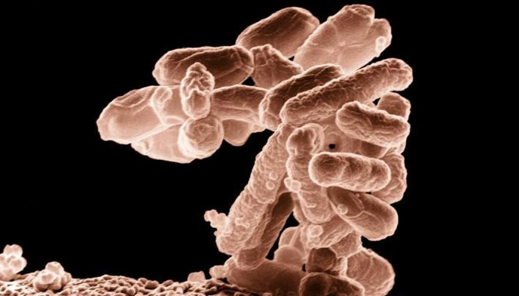 En klase med e.colibakterier forstørret 10 000 ganger (Foto: Agricultural Research service/ Wikimedia Commons)