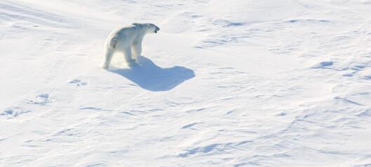 Mindre havis gir Svalbard-isbjørnene færre maker