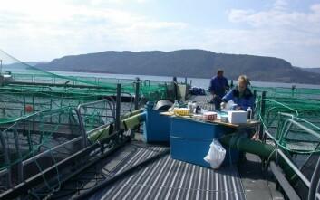 Fiskehelsetjenestene gjør rutinemessige prøveuttak av fisk på anleggene for å teste for ulike smittestoff og sykdom. (Foto: Anne Berit Olsen)