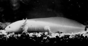 """""""Mexicansk axolot, en neoten salamander. høyre>Skrekkhistorie Den største skrekkhistorien stammer fra Sverige midt på 1960-tallet, da noen satte ut fisk i det vannet som rommet verdens eneste forekomst av neotene små- og storsalamandere. Neoteni hos amfibier betyr at dyrene lever hele livet og formerer seg som rumpetroll. Den mellomamerikanske axolotlen er et velkjent eksempel - men det fantes altså også en lokal skandinavisk variant. Inntil noen sportsfiskere fant ut at de godt kunne tenke seg å fiske ørret akkurat der..."""