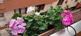 Lukten fra denne planten kan påvirke helsa