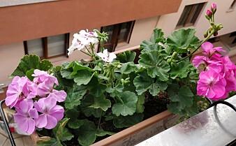 Lukten fra denne planten kan påvirke helsa di