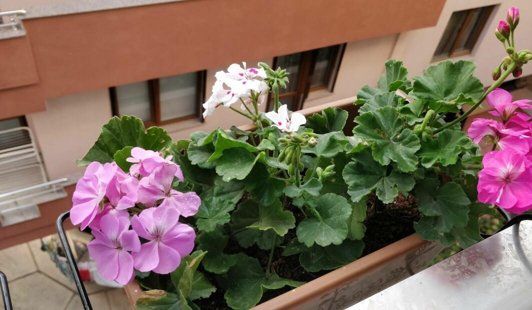 Pelargonia oser av godlukt som kan minne om sitrusfrukter eller roser. Dette ga følelser av fred og ro, ifølge forskerne.