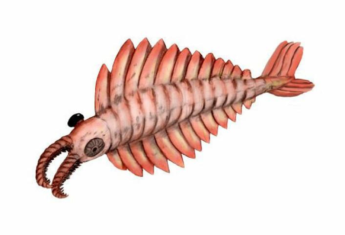 Monster-reka Anomalocaris, som herjet i verdenshavet for en halv milliard år siden, var kanskje ikke så skrekkelig likevel. (Illustrasjon: Wikimedia Commons)